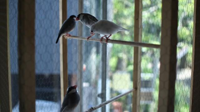 Bird cage for Hagi-bird
